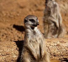 Meerkat watching the crowd by Lisa Dugger
