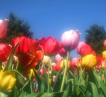 Colorful Tulips  by snehit