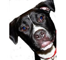 A Sweet Pit Bull Photographic Print