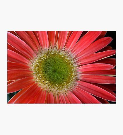 Red daisy flower Photographic Print