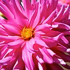Hot Pink Dahlia by John Butler