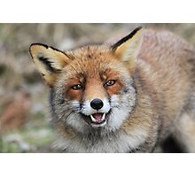 Red Fox - 1649 Photographic Print