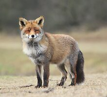 Red Fox - 1684 by DutchLumix