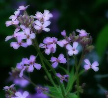 Wild purple  phlox by vigor