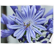 Agapanthus Close-Up Poster