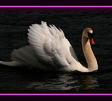 The Mute Swan by snapdecisions