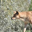 Australia's Wild Dog, The Dingo by Dwayne Madden