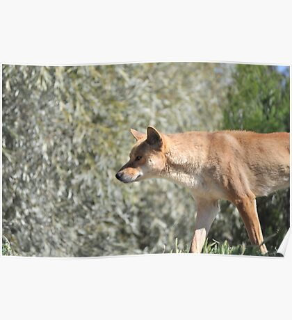 Australia's Wild Dog, The Dingo Poster