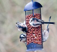 Long tailed tits  by Sandra O'Connor