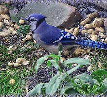 My Blue Jay Loves Peanuts by ✿✿ Bonita ✿✿ ђєℓℓσ