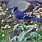 My Blue Jay Loves Peanuts by  Bonita Lalonde