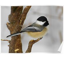 Black-capped Chickadee Contemplating Next Move Poster
