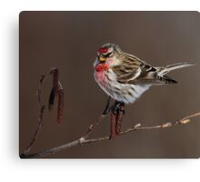 Common Redpoll Perched on Alder Catkins Canvas Print
