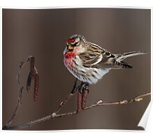 Common Redpoll Perched on Alder Catkins Poster