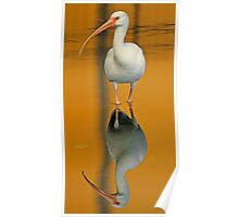White ibis and reflection 2 Poster
