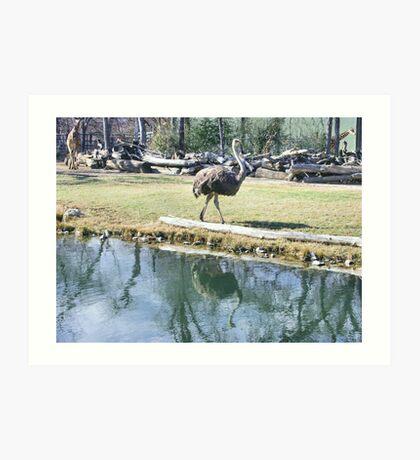 Reflecting Ostrich Art Print