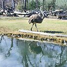 Reflecting Ostrich by Susan Russell
