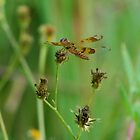 Brown dragonfly on Spanish Needles by Ben Waggoner