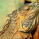 Iguana by srijanrc