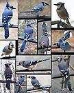 Jazzy Blue Jays 3 by WalnutHill