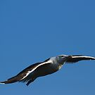 Great Black-backed Gull by Steve Borichevsky