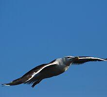 Great Black-backed Gull by Steve Borichevsky
