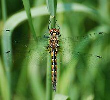 Dragonfly by Steve Borichevsky