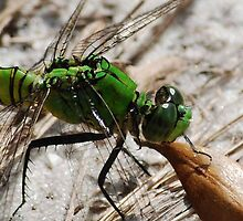 Green Dragonfly... Up Close & Personal by Diane Blastorah