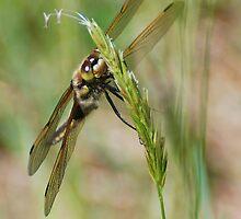 Four-spotted Skimmer by Steve Borichevsky