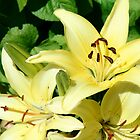 Lilium 'Royal Gold' by Maggie Hegarty