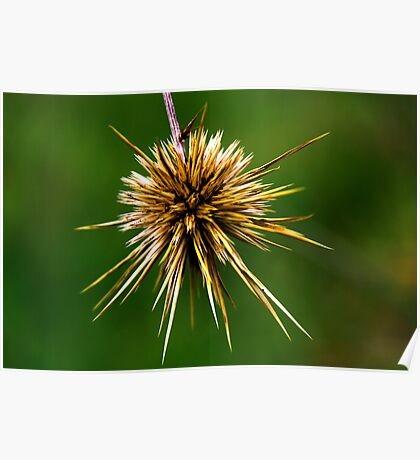 Echinops polyceras Poster
