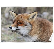 Red Fox - 1657 Poster
