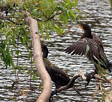 Great Cormorant ~ (Phalacrocorax carbo) by Clive