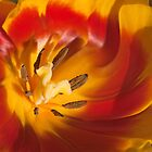 Unashamed, tulip in close up. by Bigganvi