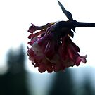 Already in bloom by TriciaDanby