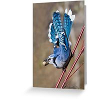 Blue Jay on dogwood Greeting Card