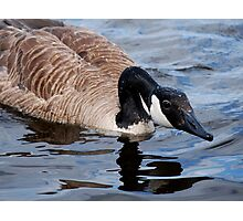Visit with a Canada Goose ... Photographic Print