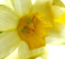 Daffodil Sun by TriciaDanby