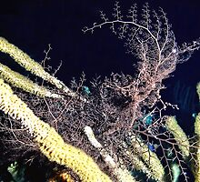 Giant Basket Star at night by Amy McDaniel
