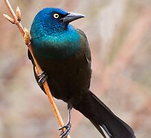 Common Grackle by PixlPixi