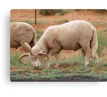 Three horned Sheep Canvas Print