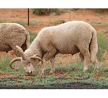 Three horned Sheep Photographic Print