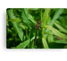 Bronze Dragonfly Canvas Print