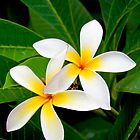 Two Beautiful Plumeria flowers by RobDeCamp