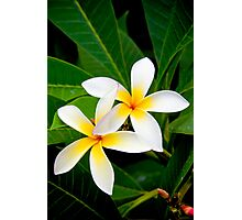 Two Beautiful Plumeria flowers Photographic Print