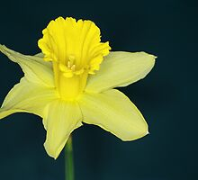Daffo the Dil by Chris Day