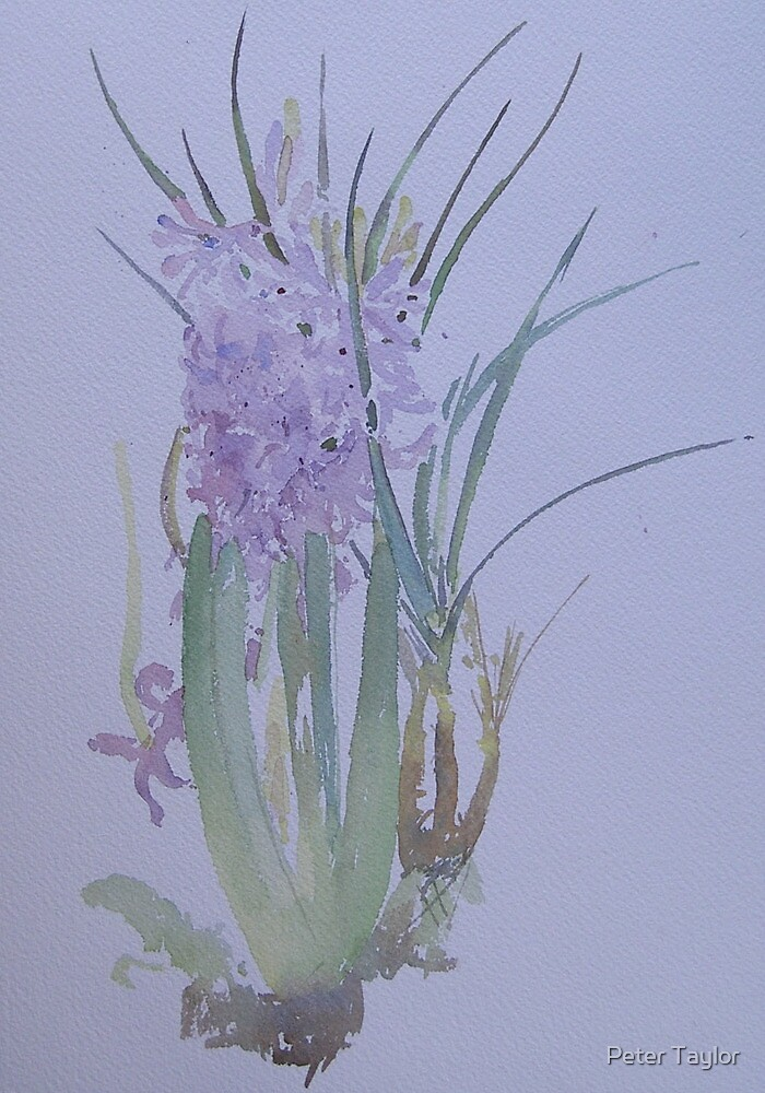 Hyacinth on a cold day by Peter Lusby Taylor