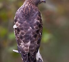 Broad-winged Hawk by PixlPixi