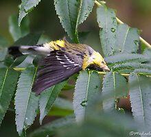 Magnolia Warbler by PixlPixi