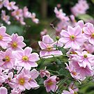 Pink Windflowers! by Gabrielle  Lees